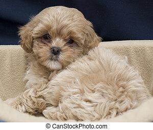 Cute Puppy - A cute Shih Tzu Puppy