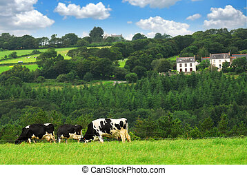 Cows in a pasture - Cows grazing on a green pasture in rural...