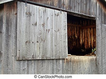Barn With Tobacco - An old wood plank barn with tobacco...