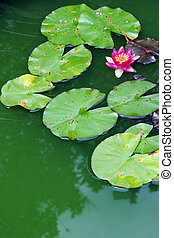 Water garden - Water lily growing in a tropical water...