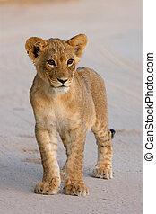 Lion cub - Young lion cub Panthera leo, Kalahari desert,...