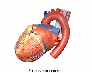 Anatomic Model of the Human Heart - Anatomic model of the...