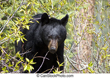 Black bear. - Black bear coming out of the bushes.