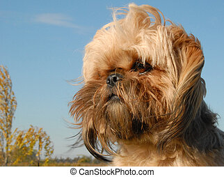 shi tzu - portrait of a beautiful purebred shi tzu