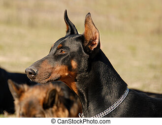 doberman - portrait of a beautiful purebred doberman pinsher