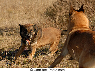 two dangerous dogs - two purebred belgian shepherds:...