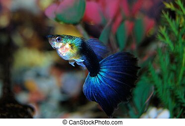 azul, Guppy