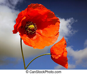 poppies - two red poppies against a blue sky
