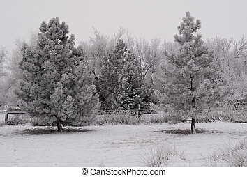 Frost Triangles - Evergreens on a frosted and foggy rural...