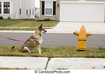 dog yearning for fire hydrant - a beautiful brown dog...