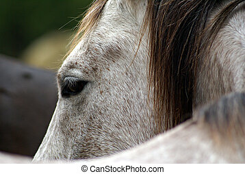 Horse Eye - Grey Arabian gelding profile with eye....