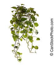 plante, développé, pendre, pot