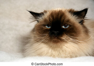 grumpy cat - grumpy looking himalayan cat looking at viewer...