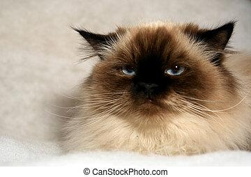 grumpy cat - grumpy looking himalayan cat looking at viewer...