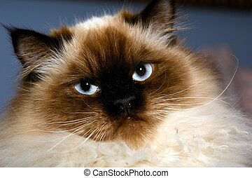 stern himalayan - stern looking himalayan cat looking at...