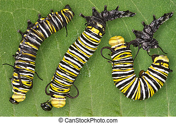 Monarch caterpillar shedding - Three views are put together...