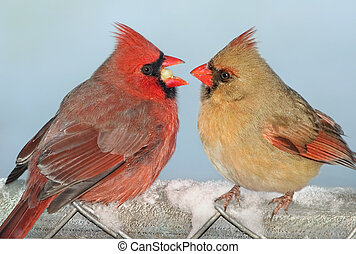 Cardinal sharing - A male cardinal is offering a female...