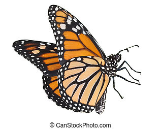 Flying monarch on white - A monarch in flight is on a white...