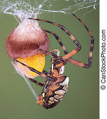 Spider wrapping an egg case - An argiope spider has laid her...