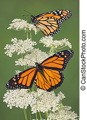 Two monarchs are perched on queen anns lace. The lower...