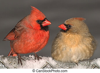 Cardinal love - A male and female cardinal are making eyes...