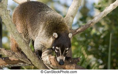 Coatimundi (nasua nasua) climbing in tree - landscape...