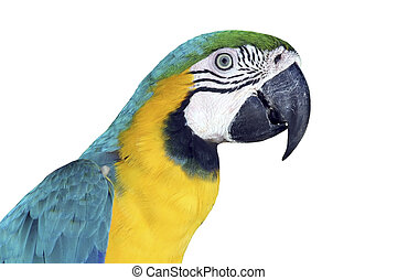 Colorful Macaw - Portrait of a colorful, isolated Macaw