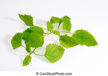 Lemon Balm - Green lemon balm leaves on light background