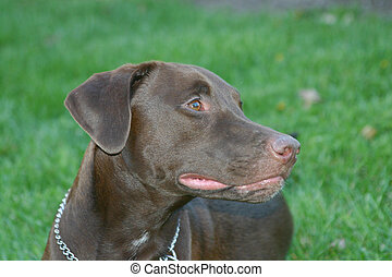 Chocolate Labrador - Profile shot of chocolate labrador...