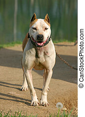 Chained Pit Bull - Photo of pit bull with metal chain...