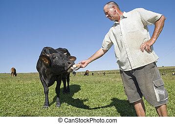 Dairy Farmer feeding cow.