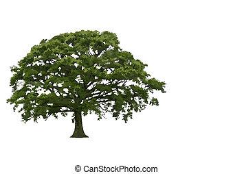 Estratto, estate, quercia, albero