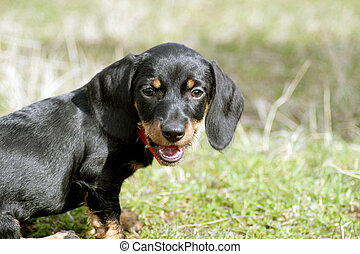 Young Dachshund - Brown dachshund sitting outside in the...