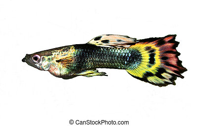 Glorious Guppy - A male guppy isolated against a white...
