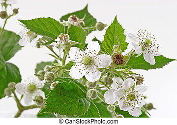 Blackberry Bush - Blackberry blossoms and leaves on light...