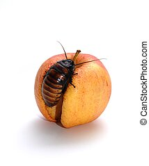 Roach on Apple - A Madagascar Hissing Cockroach on a rotten...