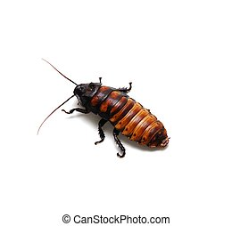 Cockroach - A Madagascar Hissing Cockroach isolated on white...