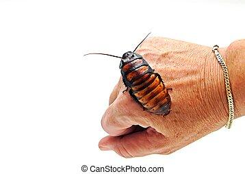 Cockroach on Hand - A Madagascar Hissing Cockroach on a...