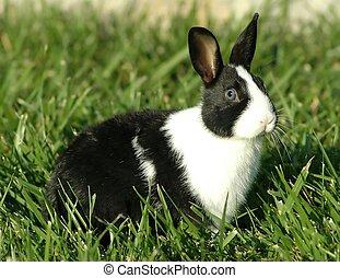 Dutch Bunny - A dutch bunny sitting in a yard.