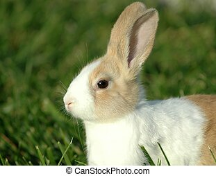 Bunny Rabbit - A close up of a dutch bunny.