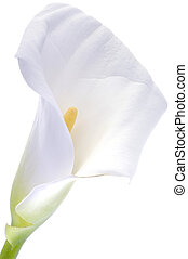 Calla lily over white - Zantedeschia aethiopica, a native of...
