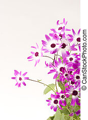 Senetti Magenta Bi-Color - Senetti Magenta Bi-Color isolated...
