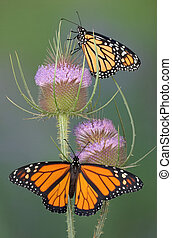 Monarchs on teasel - Two monarchs are sitting on a teasel...