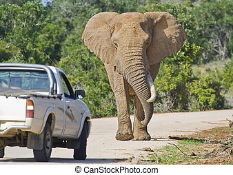 African Traffic Stopper - Elephant approaching a truck on a...