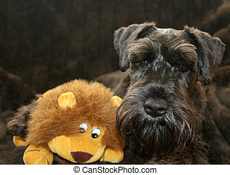 Miniature Schnauzer - Black Miniature Schnauzer posing with...