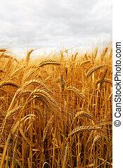 Wheat - Golden wheat growing in a farm field