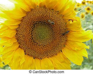 dois, abelhas, grande, amarela, girassol