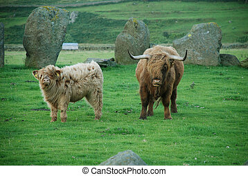 highlander scottish cow - and calf at sacred stone circle,...