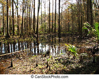 cypress knees reflection in a swamp in rural Florida