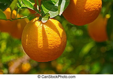 orange tree - oranges on tree
